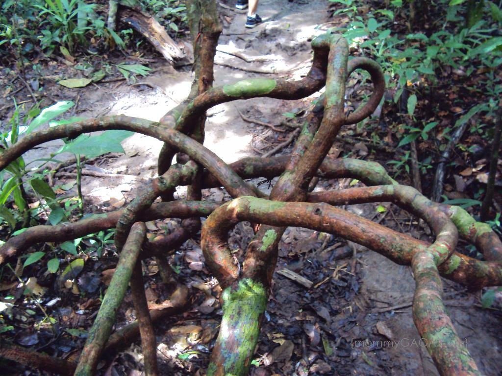 Costa Rica- Walking Tree Branches