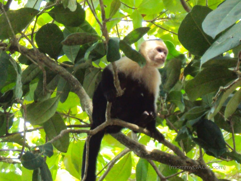 Costa Rica- White Face Monkey in a tree